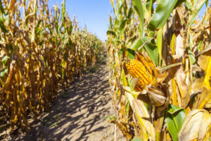 corn to make high fructose corn syrup